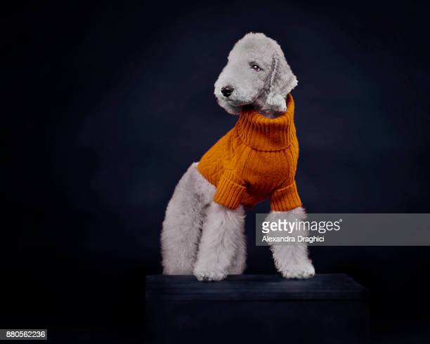 white dog wearing sweater - dark clothes stock photos and pictures
