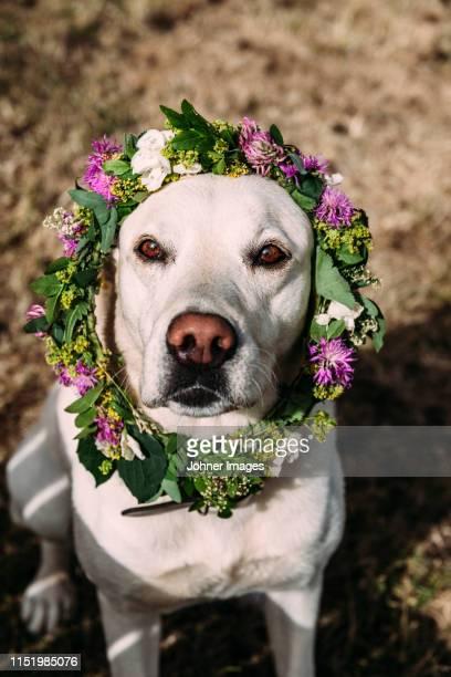 white dog with a wrath - midsommar bildbanksfoton och bilder