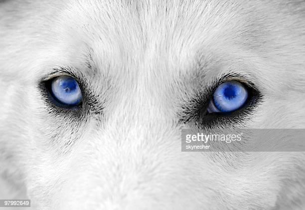 Chien blanc avec Yeux bleus