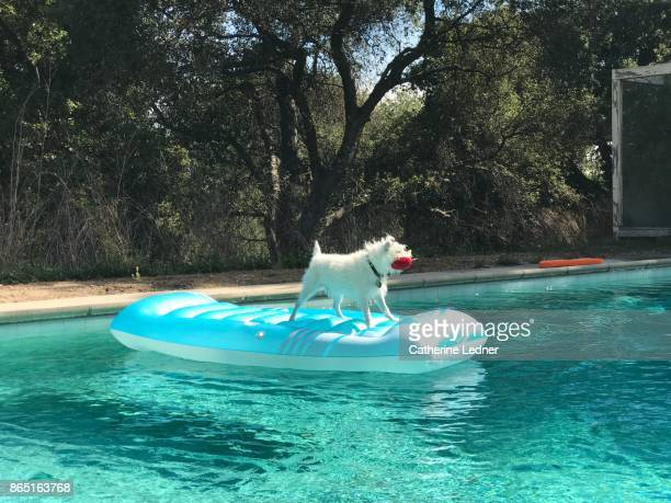 White dog with toy in mouth on blue raft in pool