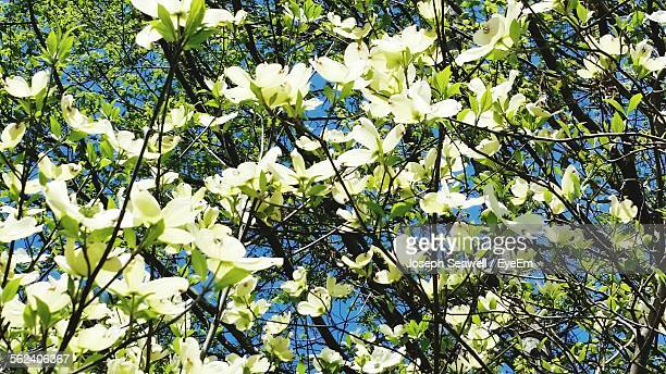white dogwood flowers - dogwood blossom stock pictures, royalty-free photos & images