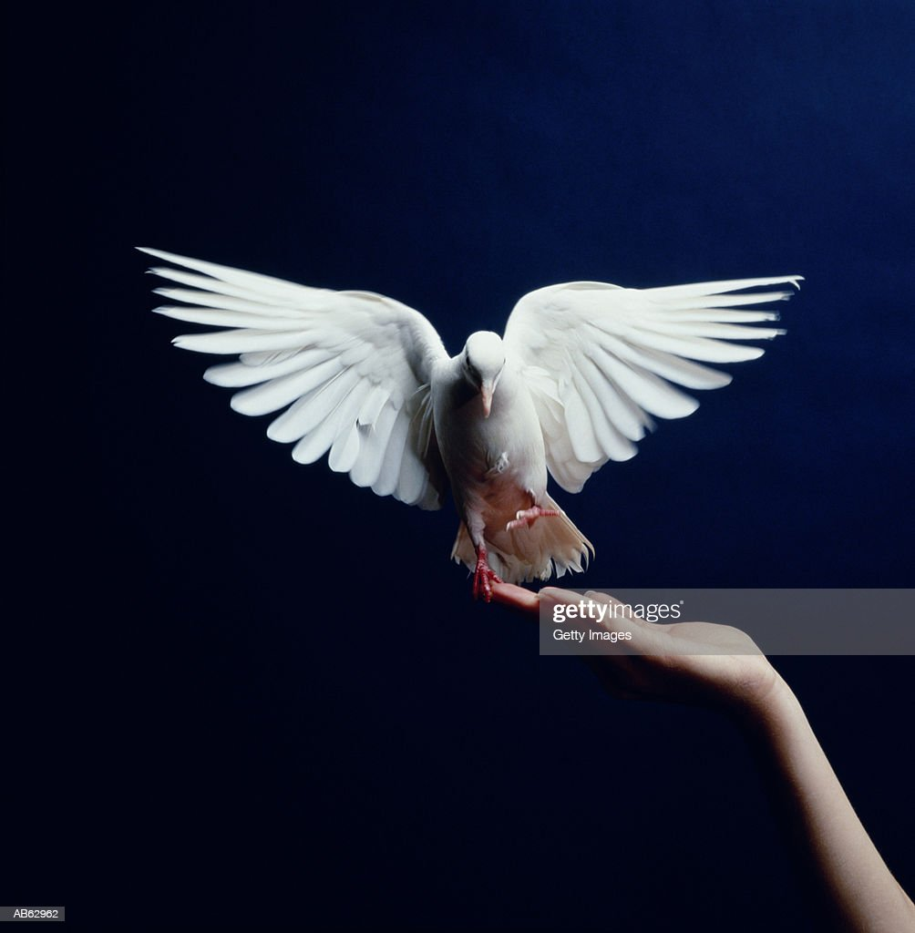 White Dove flying from hand, blue background : Stock Photo