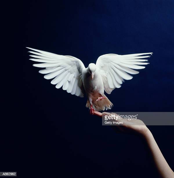 white dove flying from hand, blue background - releasing stock photos and pictures