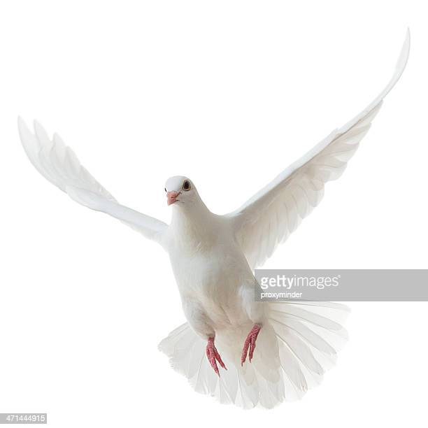 White Dove isolated