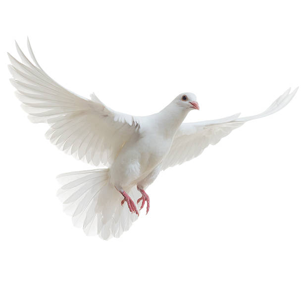 white dove isolated - free images without copyright stock pictures, royalty-free photos & images