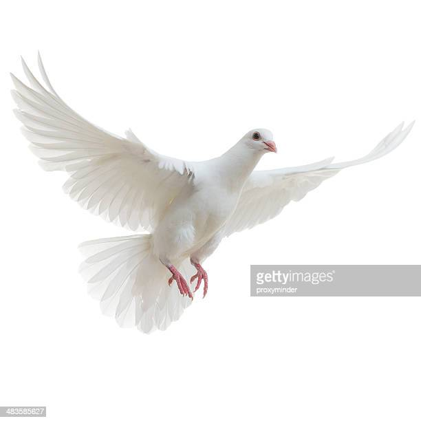 white dove isolated - fågel bildbanksfoton och bilder