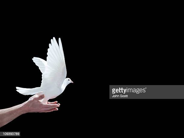 A white dove leaving a pair of hands