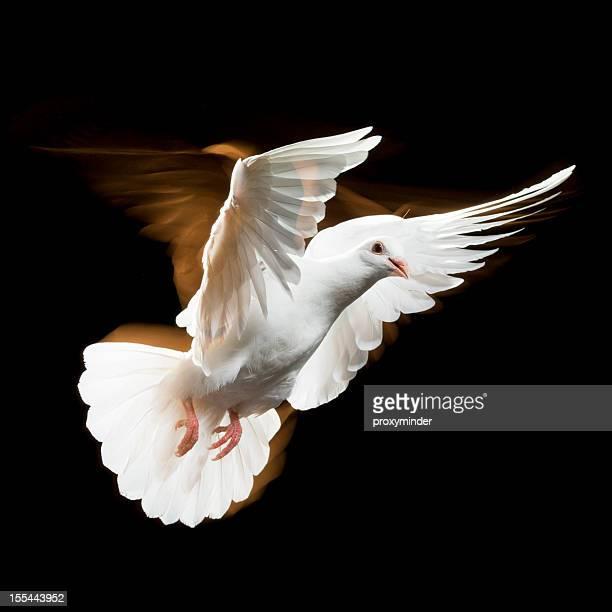 pombo branco - símbolos de paz - fotografias e filmes do acervo