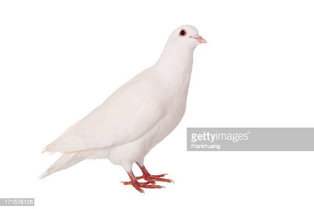 white dove - 小さめのハト ストックフォトと画像