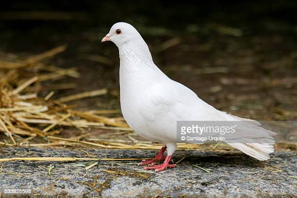 white dove - perching stock photos and pictures