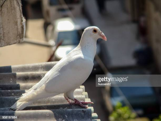 white dove - hussein52 stock photos and pictures