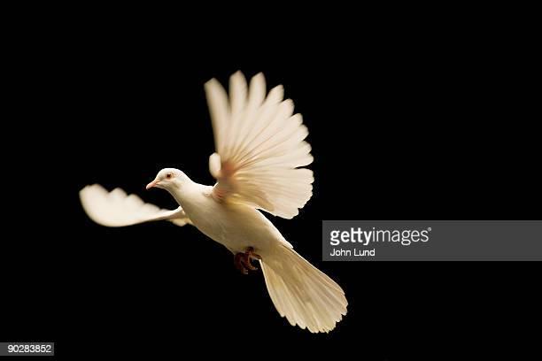 white dove release - laisser partir photos et images de collection
