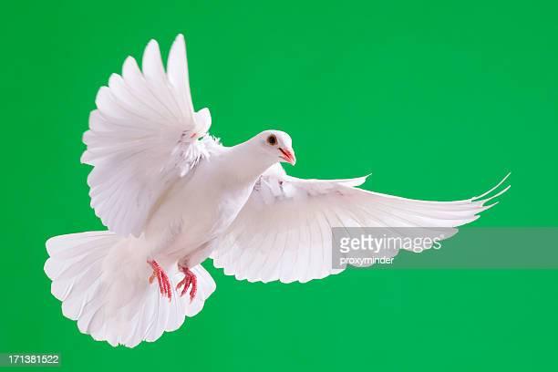 Colombe blanche avec écartés ailes isolé sur Vert chromatique