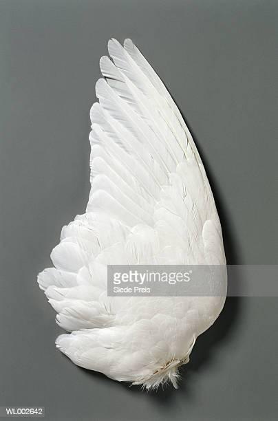 White dove's (Columbiae) wing