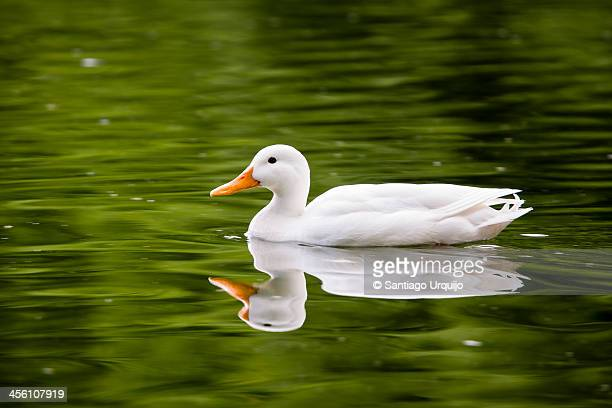 white duck on a green water lake - pekin duck stock pictures, royalty-free photos & images