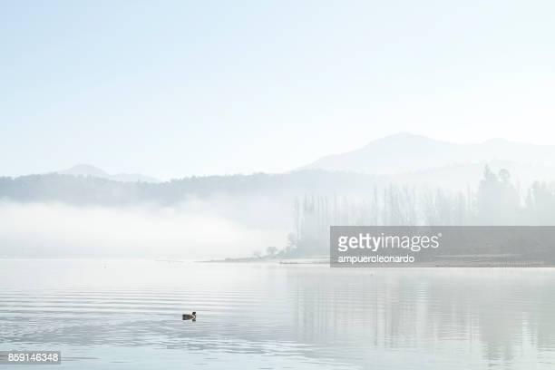 White duck swimming at Aculeo Lagoon