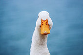 white duck with yellow beak on blue background