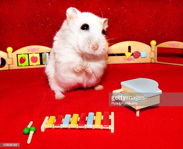 White dwarf hamster in child music room