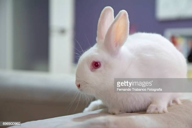 White dwarf rabbit  on the sofa in livingroom, Oryctolagus cuniculus domesticus