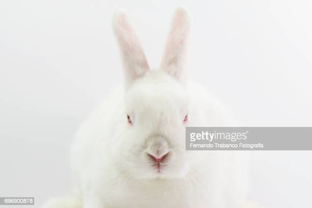 white dwarf rabbit, oryctolagus cuniculus domesticus - white rabbit stock pictures, royalty-free photos & images