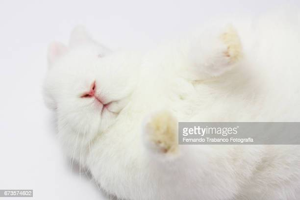 white dwarf rabbit relaxed upside down sleeps and becomes dead,  Oryctolagus cuniculus domesticus