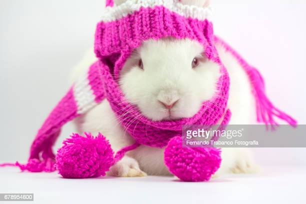 White dwarf rabbit with hat and wool scarf wrapped in cold winter, Oryctolagus cuniculus domesticus