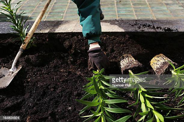 White Easter lilies are planted before the upcoming Easter holiday in Rockefeller Center on March 28 2013 in New York City Workers planted thousands...