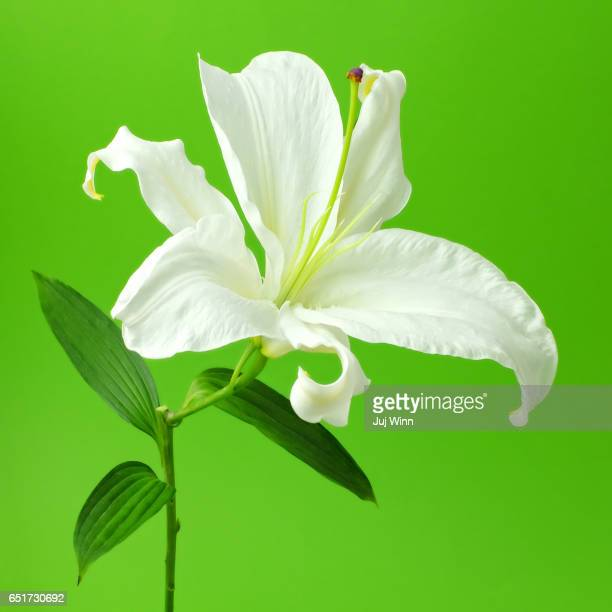 White Easter Lily on Green