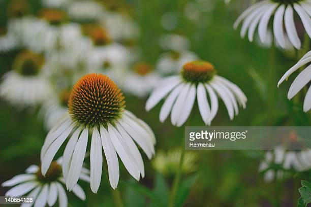 white echinacea flower blume weiß - weiß stock pictures, royalty-free photos & images