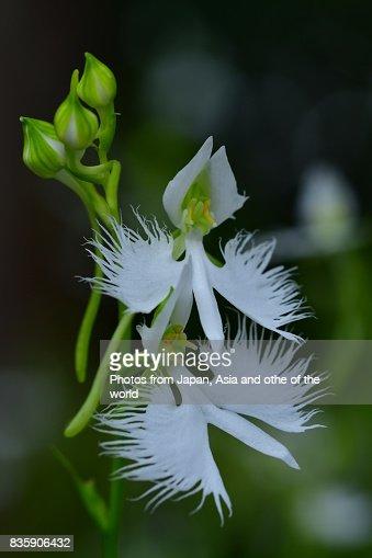 White egret flower pecteilis radiata stock photo getty images keywords mightylinksfo Image collections