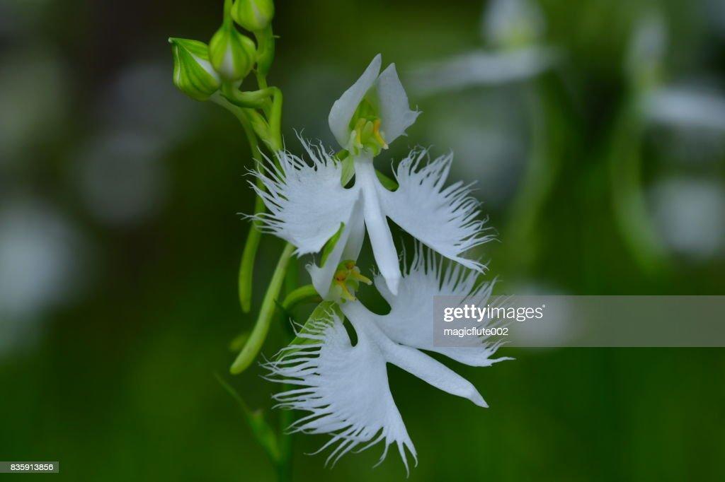 White egret flower pecteilis radiata stock photo getty images white egret flower pecteilis radiata stock photo mightylinksfo