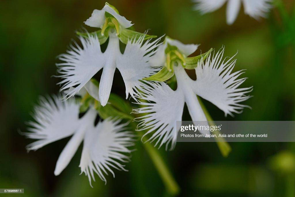 White egret flower stock photo getty images white egret flower stock photo mightylinksfo Image collections