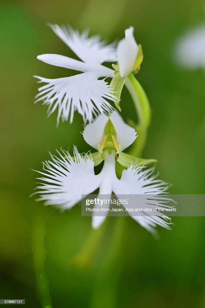 White egret flowers stock photo getty images white egret flowers stock photo mightylinksfo Image collections