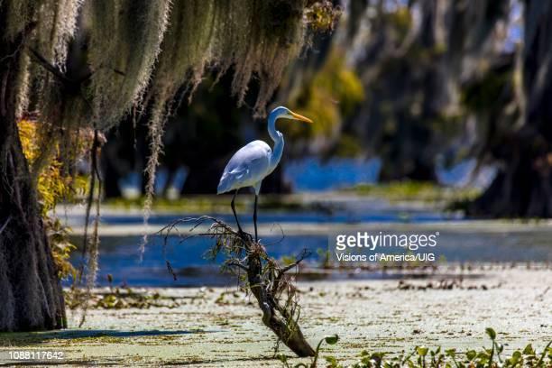 white egret in cajun swamp & lake martin, near breaux bridge and lafayette louisiana - lafayette louisiana stock pictures, royalty-free photos & images