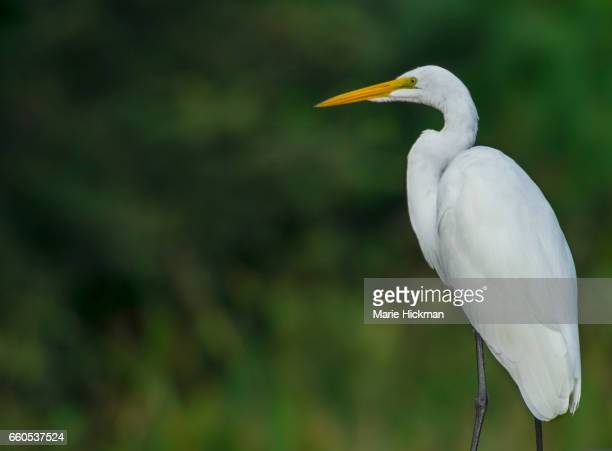 White Egret looking left in Green Cay Wetlands, Florida