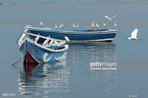 White egrets stand on the fishing boats at Gurunagar fishing port on October 24 2015 in Jaffna Sri Lanka Sri Lankan Prime Minister Ranil...