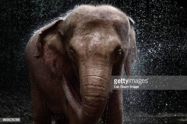 a white elephant in yangon. - indian elephant stock pictures, royalty-free photos & images