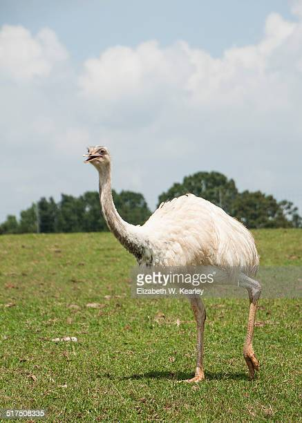 White emu walking