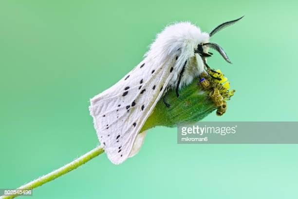 White Ermine (Spilosoma lubricipeda) moth