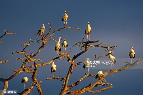 White European Storks at roost Serengeti National Park Tanzania Date