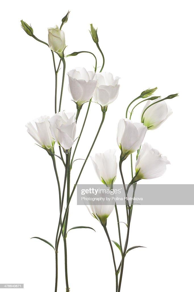 White Eustoma flowers : ストックフォト