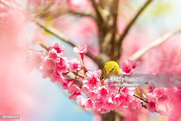 White eye bird on cherry blossom tree , Angkhang , Chiangmai , Thailand