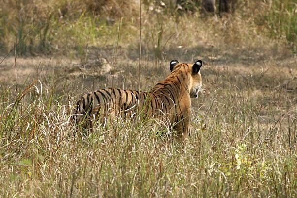 White Eye Spots on Wild Bengal Tiger, India