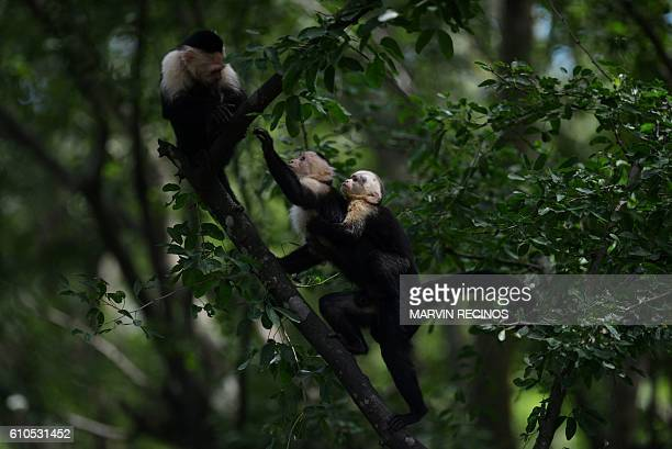 White face monkeys are pictured at the National Zoo of El Salvador in San Salvador on September 26 2016 / AFP / Marvin RECINOS