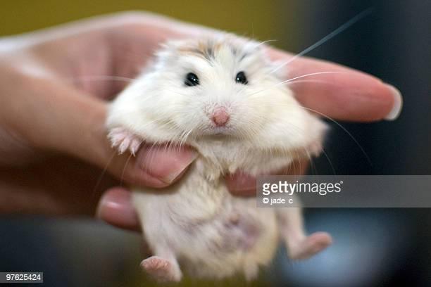 a white face roborovski dwarf hamster (pet) held - hamster imagens e fotografias de stock