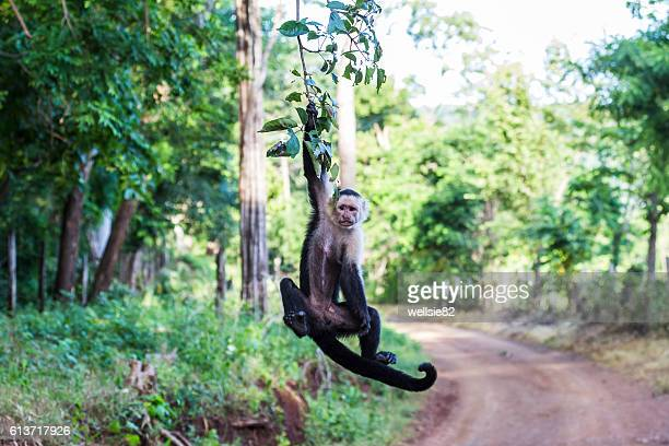 white faced capuchin hanging from a tree - capuchin monkey stock pictures, royalty-free photos & images