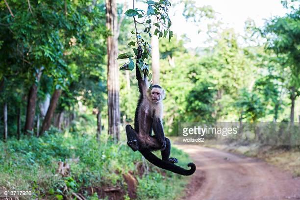 white faced capuchin hanging from a tree - mono capuchino fotografías e imágenes de stock