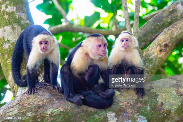 White faced Capuchin Monkeys on a Tree