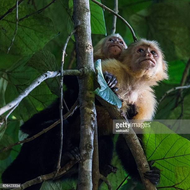 white faced capuchin with a baby on its back - capuchin monkey stock pictures, royalty-free photos & images