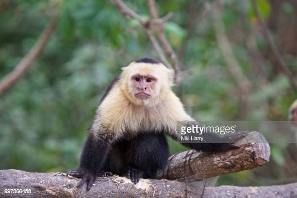 white faced monkey - capuchin monkey stock pictures, royalty-free photos & images